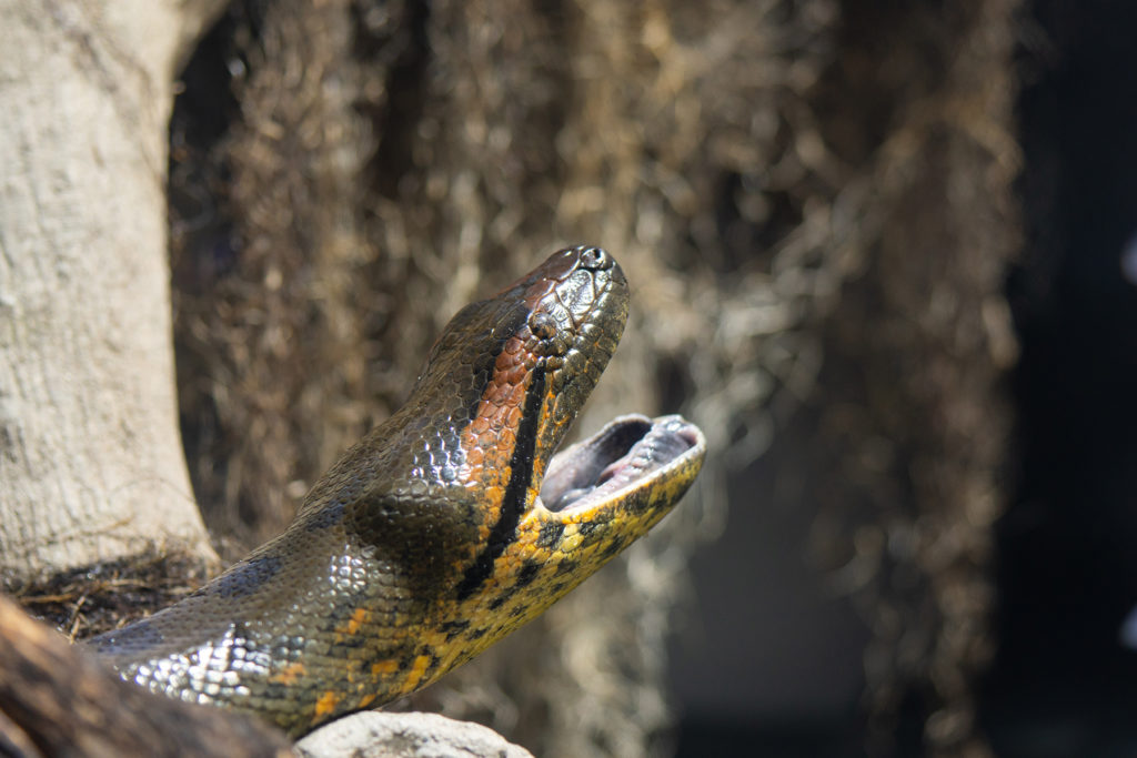 Green Anaconda with mouth open