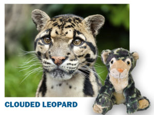 Closeup of Clouded Leopard next to a Clouded Leopard plush