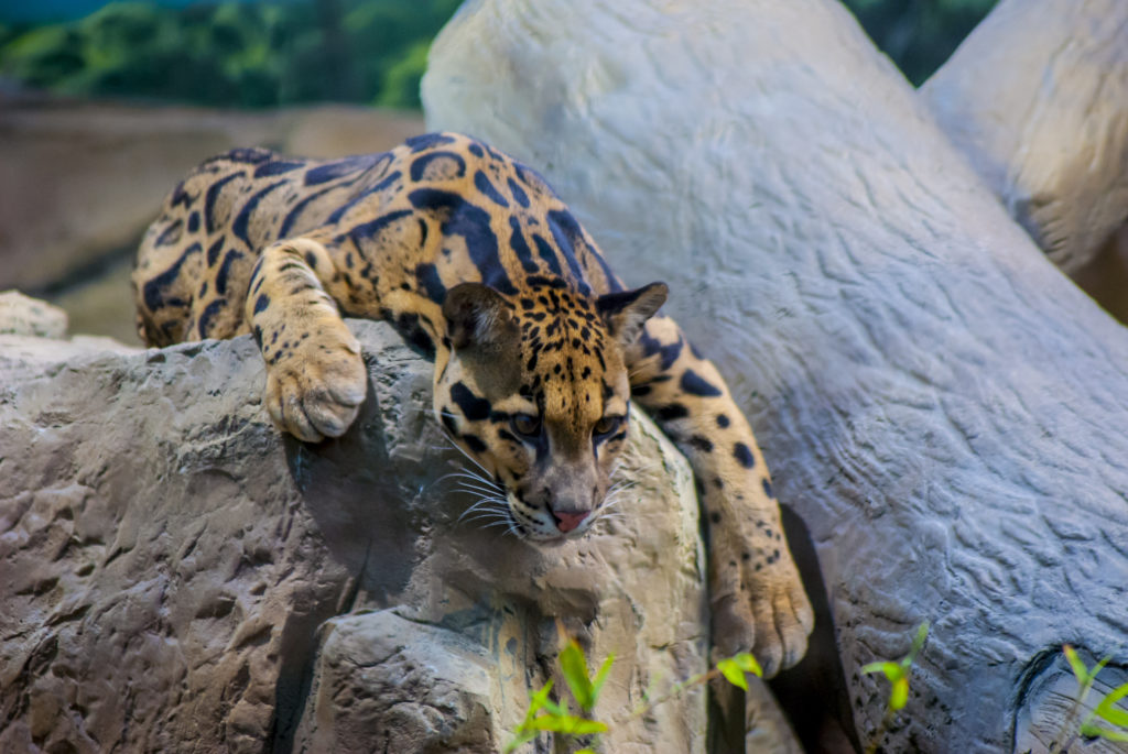 Clouded Leopard, relaxing and slumped on a rock.
