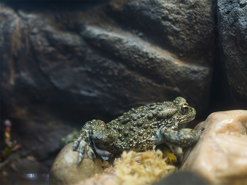 Boreal toads share via email sciox Image collections
