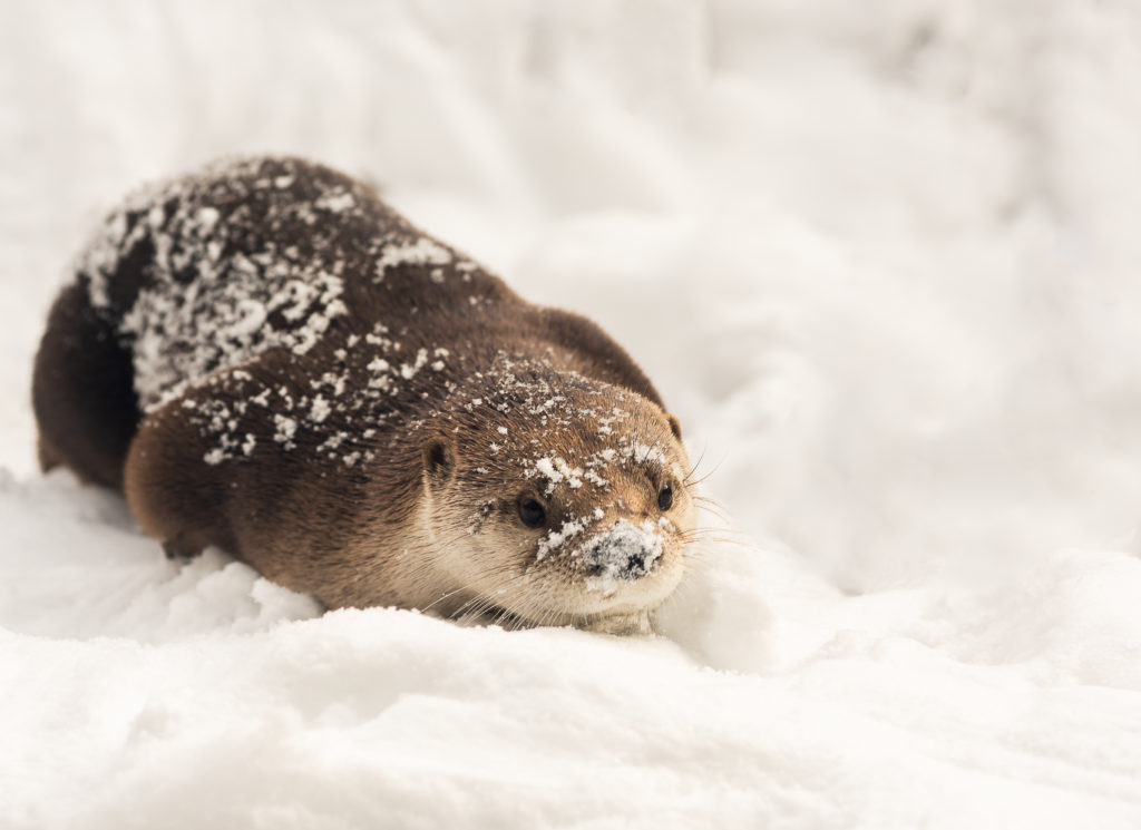 An otter plays in the snow