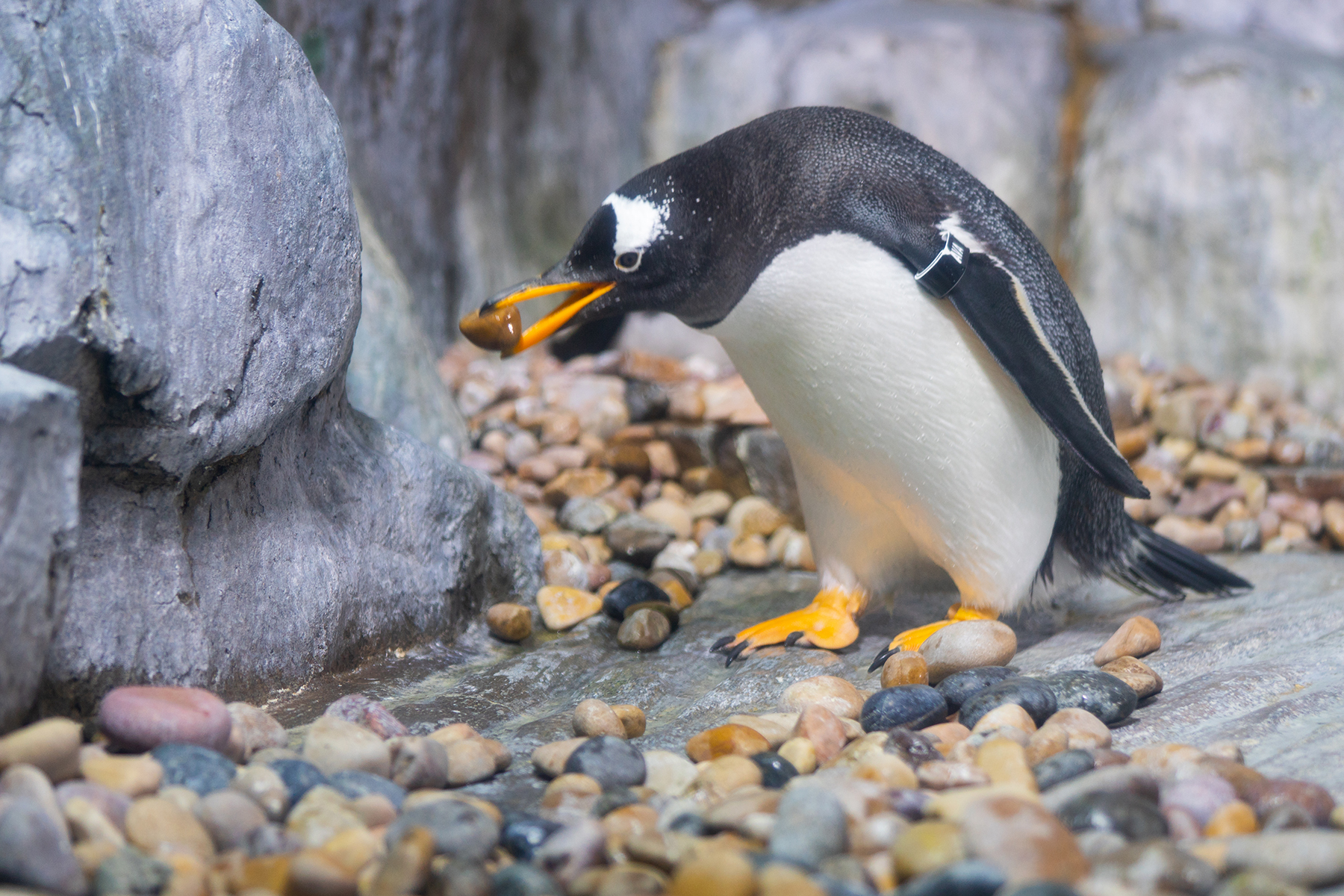 Which Penguin are you? - The Living Planet Aquarium