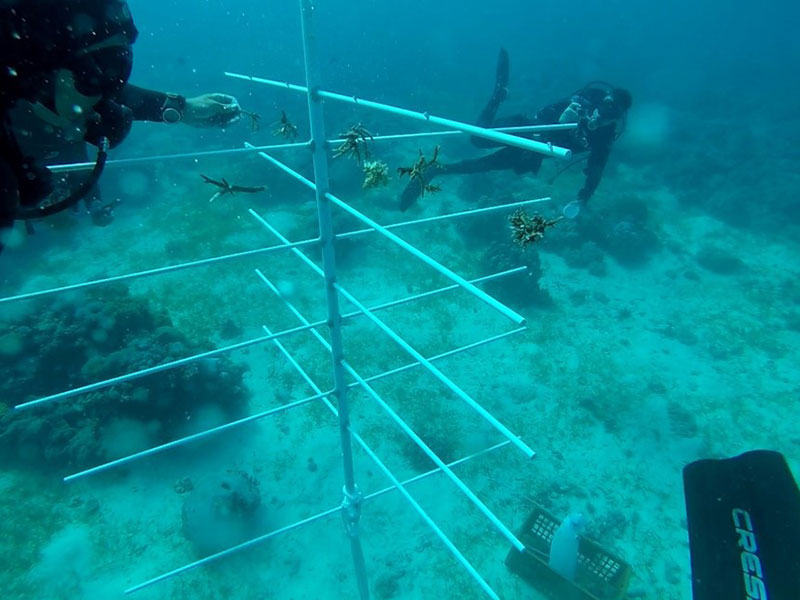 Divers placing coral fragments on tree framework