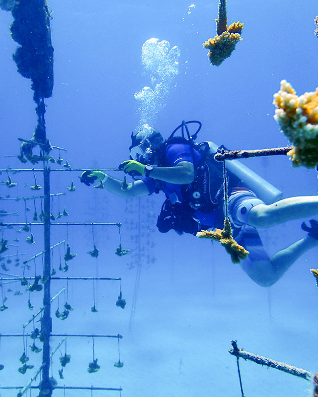 Diver adjusting coral trees